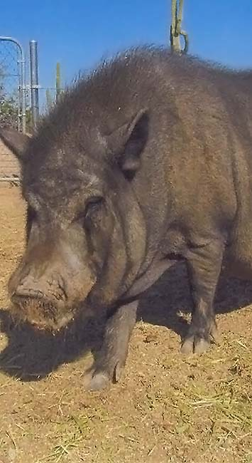 Photo of Louis, a pig sponsored by Joan Bundy Law, Chandler, Arizona.